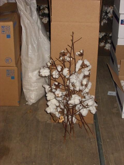 dry cotton plants3